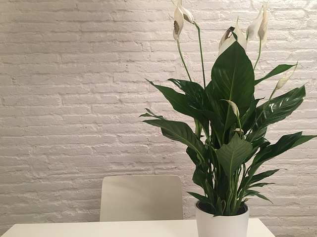 indoor peace lily-plantyland