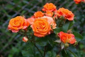 orange rose meanings and indication