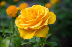 yellow rose meaning -Friendship day gift